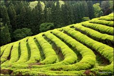 China tea fields | ... rows of green tea at the Boseong Green Tea Fields in South Korea