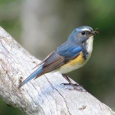 Flower Photos, Beautiful Birds, Blue Bird, Old World, Robin, Awesome, Animals, Watercolor, Colourful Birds