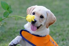 Guide Dog in training! ….guiding his way to my heart