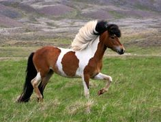 One of Icelander Chantal Jonkergouw's herd of original type Icelandic horses. Icelandic Horse, Horse Saddles, Western Saddles, Appaloosa Horses, Wild Mustangs, Horse Tips, Horse Trailers, Horse Breeds, Thoroughbred