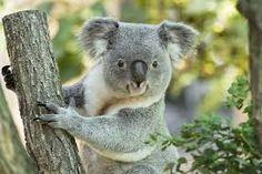 koala - Google-keresés Bear, Animals, Google, Animales, Animaux, Bears, Animal, Animais