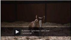 Budweiser colt grows up