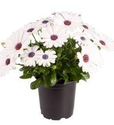 Tähtisilmä 'Felipa' Plants, Air Fresh, Garden Planning, Plant, Planets