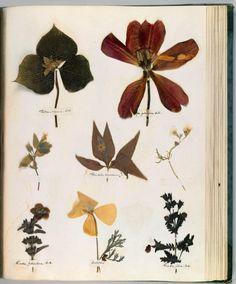 emily dickinson's herbarium!
