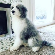 Blue Merle Aussiedoodle from Cottonwood Creek Doodles!  www.cottonwoodcreekdoodles.com @mayaussiedoodle