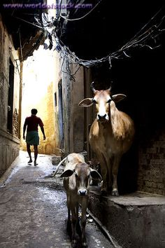 Scene On The Street With Cows Varanasi