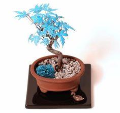 Blue Maple tree Bonsai tree seeds [ 50pcs / pack ]