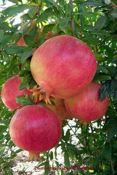 Jewish tradition teaches that the pomegranate is a symbol of righteousness because it is said to have 613 seeds, which corresponds with the 613 mitzvot Fruit And Veg, Fruits And Vegetables, Fresh Fruit, Photo Fruit, Grenade, Beautiful Fruits, Tropical Fruits, Delicious Fruit, Fruit Garden