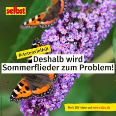 Der #Sommerflieder oder #Schmetterlingsflieder wird in Deutschland immer beliebter – und das nicht ohne Grund! Er ist #robust, hübsch anzusehen und bietet vielen #Insekten #Nahrung. Jedoch ist er gleichzeitig auch #invasiv und vertreibt #heimische #Pflanzen – mit der #richtigen #Pflege und dem richtigen #Schnitt kannst du das aber verhindern! #Pflanzenpflege #Garten #Gartenpflege #Nachhaltigkeit #Artenvielfalt #Pflanzenarten #Rückschnitt #Sommer #Neophyt #schneiden #pflegen #gärtnern #selbst Buddleja Davidii, Insects, Get In Shape, Yard Maintenance