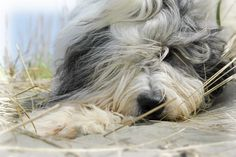 thought this dog was an Old English Sheepdog -- turns out he's a Romanian Mioritic Sheepdog