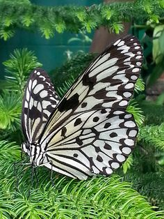 Zentangle!!!!    .   ..  oops.  nope.  it's a butterfly :)
