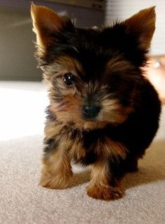 Image Reasons Why You Should Never Own Yorkshire Terriers. JUST TOO CUTEImage of the cutest small dog breeds on the planetImage viaYorkshire terrier by ana. Yorkie Puppies For Adoption, Yorkie Puppy, Cute Puppies, Cute Dogs, Dogs And Puppies, Baby Yorkie, Mini Yorkie, Pomeranian Dogs, Baby Puppies