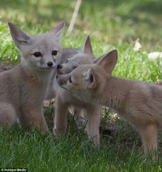 The foxes displayed some very human behaviour by teasing each other, just like most brothers and sisters