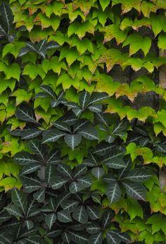 Parthenocissus tricuspidata Fenway (Fenway Boston Ivy) & Parthenocissus henryana (Silvervein Creeper)