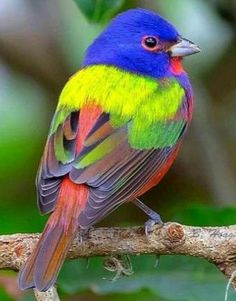 Painted Bunting, S Carolina Cute Birds, Small Birds, Pretty Birds, Tropical Birds, Exotic Birds, Colorful Birds, Beautiful Creatures, Animals Beautiful, Cute Animals