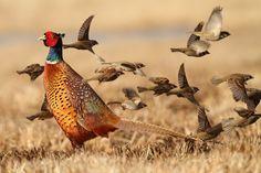 The ring-necked pheasant upland game bird. #Hunting #Upland