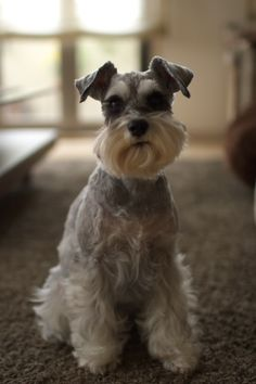 Ranked as one of the most popular dog breeds in the world, the Miniature Schnauzer is a cute little square faced furry coat. Schnauzer Cut, Schnauzer Grooming, Miniature Schnauzer Puppies, Giant Schnauzer, Schnauzers, Cute Puppies, Cute Dogs, Fluffy Puppies, Animals Beautiful