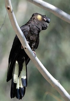 White tailed Black Cockatoo, these are the guys  that are feasting on the nuts in the trees  here at present.