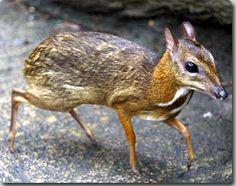 Tragulidae