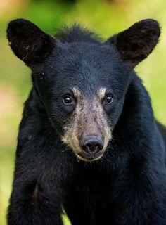 Portrait of a young black bear