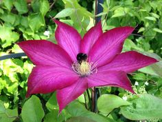 Clematis and visitor