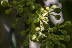 Foto: White Sapote Flower (Vernon)
