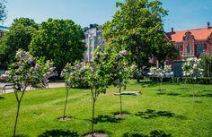 Runkosyreenit tuoksuvat Liisanpuistikossa [Hemmo Rättylä] Helsinki, Finland, Fruit