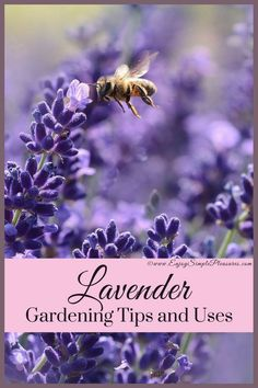 This article details Lavender gardening tips and uses. Helpful hints for harvesting and drying Lavender. Common and daily Lavender uses are included.