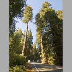 Coastal Redwood Sapling--Sequoia sempervirens--Jonsteen Co.