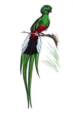 Le #couroucou est un oiseau tropical. Sa famille compte de nombreuses espèces. Celui-ci arbore de belles #plumes vertes sur toute la moitié supérieur de son corps et le bas de la queue #numelyo #vert #couleur #color