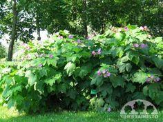 Rubus odoratus TUOKSUVATUKKA  Nopeakasvuinen ja isolehtinen tuoksuvatukka soveltuu aidanteeseen ja muihin tuulelta, pölyltä ja katseilta suojaaviin kasvustoihin. Lehdistö: Suuret, 10–25 senttiä leveät lehdet. Ei erityistä syysväriä. Kukinta: Roosat, 3–4-senttiset kukat tuoksuvat miedosti. Viikkokausia jatkuva kukinta on runsainta kesä–heinäkuun vaihteessa. Marjat: Vattumaiset marjat ovat herkullisia kypsyttyään tummanpunaisiksi. Kasvupaikka: Tuoksuvatukka voi parhaiten hikevässä multamaassa…
