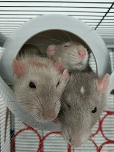 Taking photos of rats: A story in 3 parts #aww #cute #rat #cuterats #ratsofpinterest #cuddle #fluffy #animals #pets #bestfriend #ittssofluffy #boopthesnoot