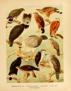 Album de aves amazonicas,  Emil August Göldi, 1900.
