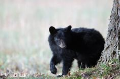 Fun Fact alert! Our famous black bears' favorite snack are acorns!