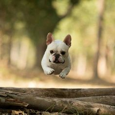 """""""I believe I can fly"""", French Bulldog Puppy❤️❤️ @chalky0528"""