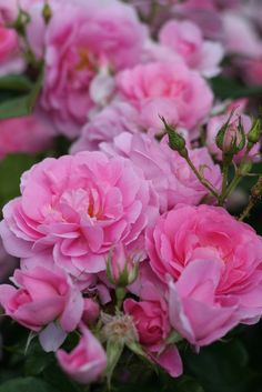 English Roses at Kew Gardens by Robert Mealing