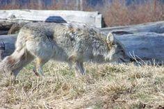 coyote stalking.jpg