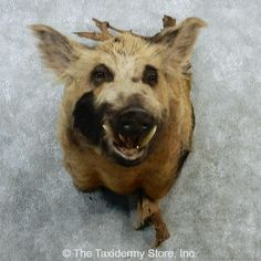 huge wild boar hog pig head taxidermy real arkansas