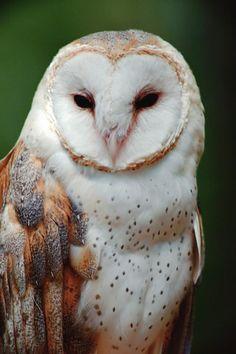Barn owl ~ natural colour