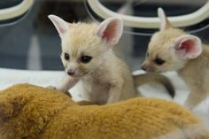 Tiny fennec foxes