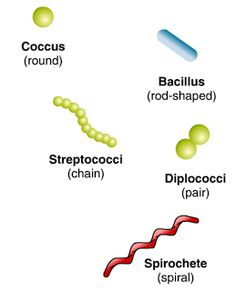 shapes of bacteria // Differences in cell shape and arrangement provide an initial clue to the identity of the bacterial genus and species. The three basic shapes of bacterial cells are: 1. Coccus (round). 2. Bacillus (rod shaped). 3. Spirochetes (spiral).