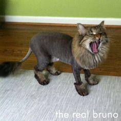 Sgaved mačička
