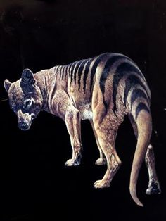 COL Bailey makes some extraordinary claims. Not only does he firmly believe the supposedly extinct thylacine still lives in the Tasmanian wilderness, he claims to have seen one, as recently as 1995.