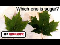 In this video, we take a hike in the woods with our spray cans to identify the sugar maples and red maples for upcoming maple syrup production later in the w. Tapping Maple Trees, Silver Maple Tree, Iowa State, Growing Tree, Acer, Maple Syrup, Tennessee, North America, Plant Leaves