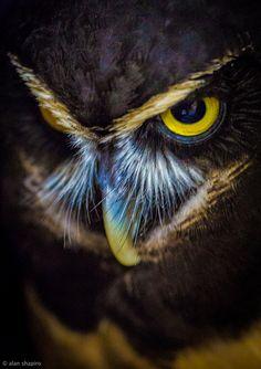 Owl by Alan Shapiro