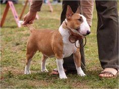Miniature Bull Terrier pets