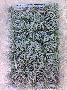 Grass --Dwarf Mondo Grass-- Ophiopgon Japonicus 'Nana' Tray of 40 plant/plugs. Ideal for mass plantings and lining out stock. > Mature Growth Habit Reaches Only 4-6 Inches Tall (4-6 Inches Wide). Amount of Sunlight: Full Shade To Partial Shade; Intolerant Of Full Sun. Cold Hardiness Zone: 6-11. Check more at http://farmgardensuperstore.com/product/grass-dwarf-mondo-grass-ophiopgon-japonicus-nana-tray-of-40-plantplugs-ideal-for-mass-plantings-and-lining-out-stock/