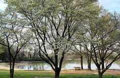 Lovely Dogwood Trees at Robinwood Lake Gastonia NC. These need to be planed in Spring not Fall, mulch well and plant above ground level, do it now :)