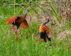 Foto saracura-três-potes (Aramides cajaneus) por André Luiz Briso | Wiki Aves - A Enciclopédia das Aves do Brasil