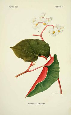 Begonia sanguinea Raddi